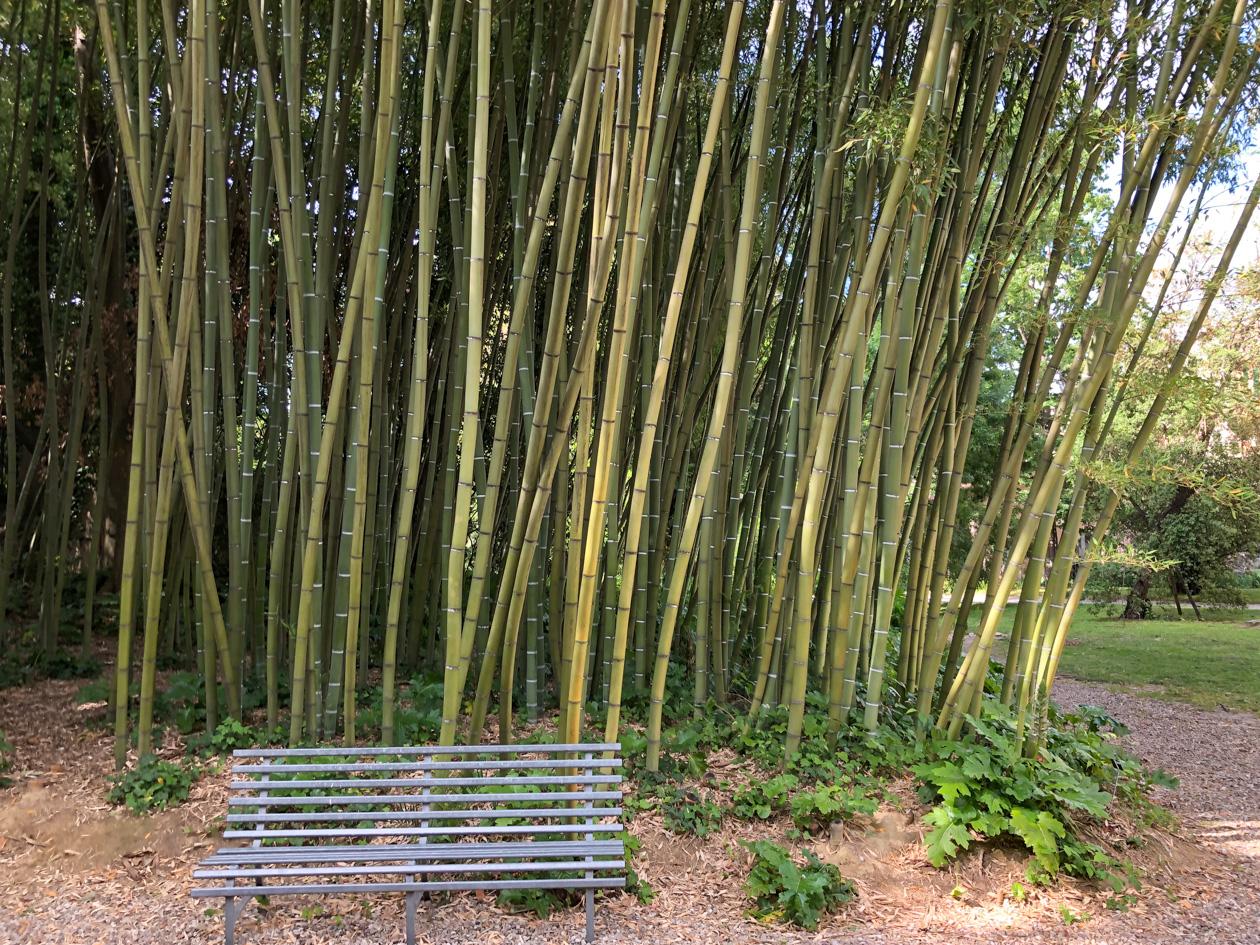 bamboe in de botanische tuin van Pisa