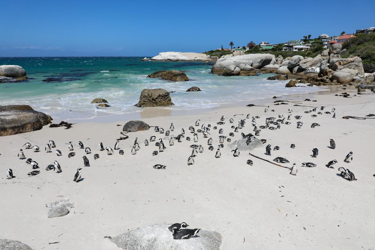 veel pinguïns