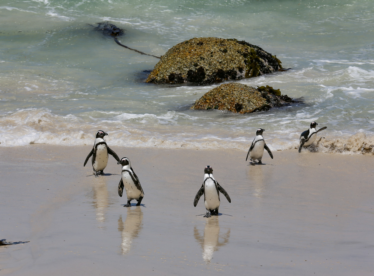 pinguïns uit de zee