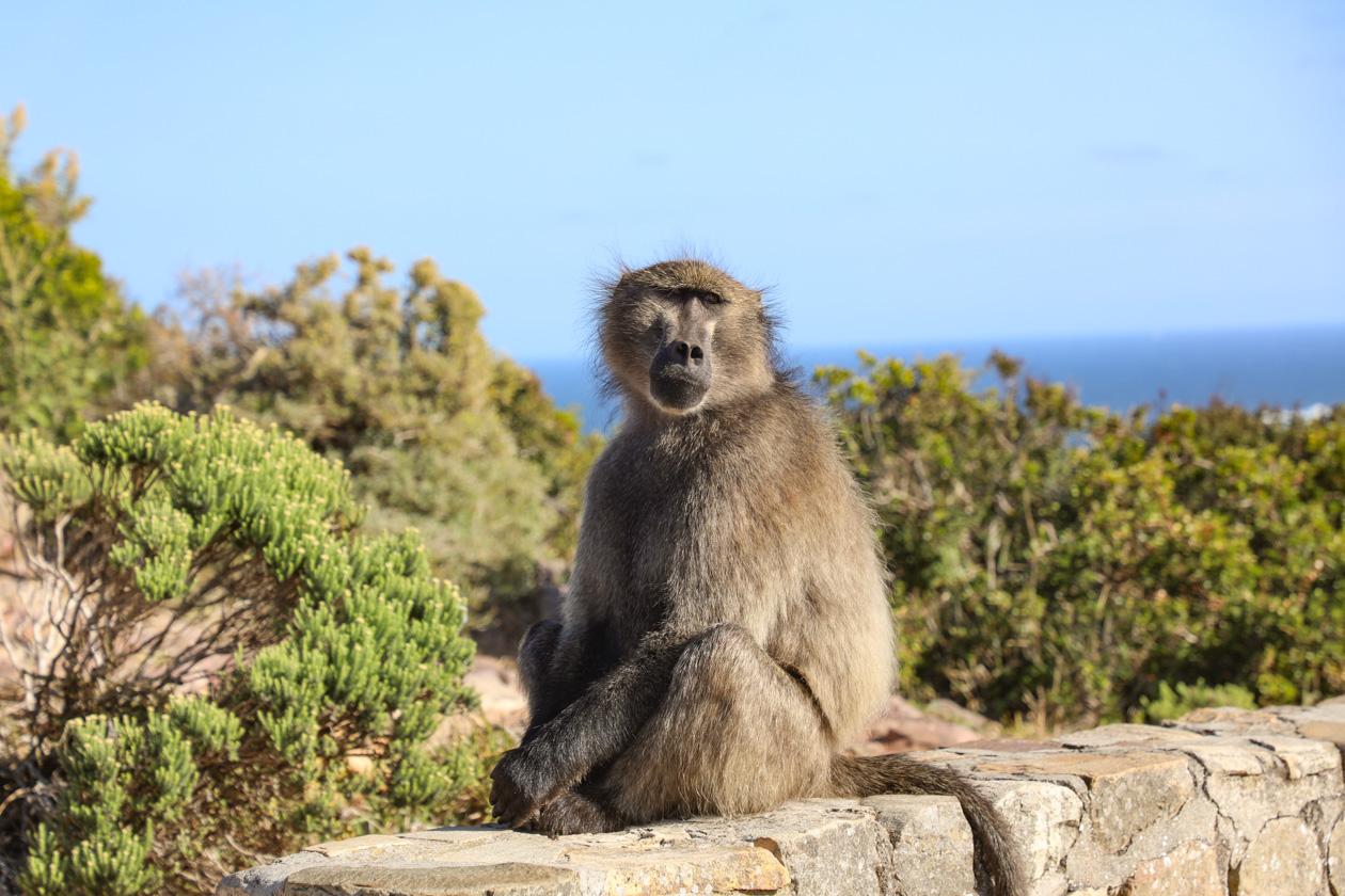 één van de bavianen